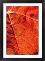 Framed Autumn leaf, Domain Road Vineyard, South Island, New Zealand