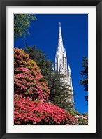 Framed Rhododendrons and First Church, Dunedin, New Zealand