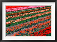 Framed Tulip Fields, Tapanui, Southland, New Zealand