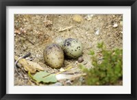 Framed Black-Fronted Tern eggs, South Island, New Zealand