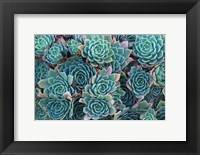 Framed Echeveria Elegans Succulents, New Zealand