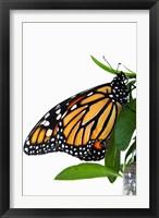 Framed Monarch Butterfly
