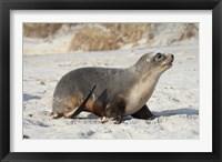 Framed New Zealand Sea Lion Pup, Sandfly Bay, Dunedin