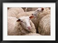 Framed New Zealand, North Island, near Wellington, Sheep