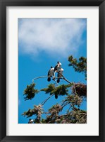 Framed New Zealand, South Island, Cormorant birds