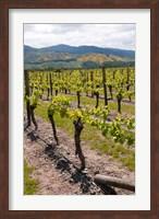 Framed New Zealand, Wairau Rivery Winery vineyard