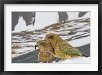 Framed New Zealand, South Island, Arrowsmith, Kea birds