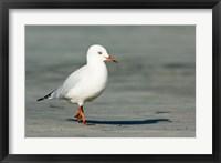 Framed Karamea Redbilled, South Island, Gull New Zealand
