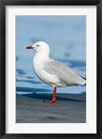 Framed New Zealand, South Island, Karamea Redbilled Gull