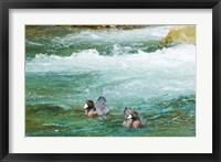 Framed New Zealand, South Island, Kelly Creek Blue Duck