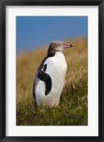 Framed New Zealand, Katiki Point, Yellow-eyed Penguin