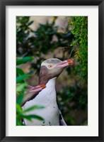 Framed New Zealand, South Isl, Otago, Yellow-eyed penguin