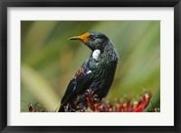 Framed New Zealand, Stewart Island, Halfmoon Bay, Tui bird