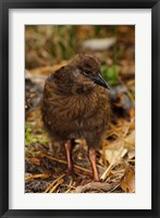 Framed New Zealand, Stewart Island, Ulva Island, Weka bird
