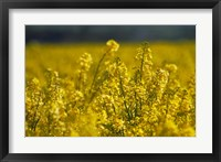 Framed Rapeseed Agriculture, South Canterbury, New Zealand