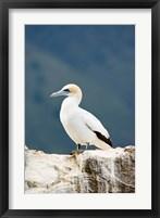 Framed New Zealand, Australasian gannet tropical bird