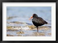 Framed New Zealand, Oystercatcher tropical bird