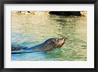 Framed New Zealand, South Island, Marlborough, Fur Seal