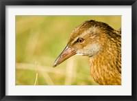 Framed New Zealand, South Island, Marlborough, Weka bird