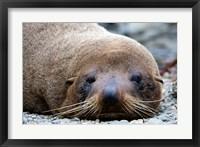 Framed New Zealand, South Island, Kaikoura Coast, Fur Seal