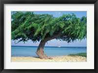 Framed Kwihi Tree,  Aruba, Caribbean