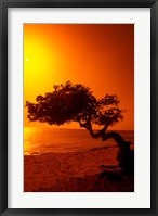 Framed Lone Divi Divi Tree at Sunset, Aruba