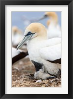 Framed Australasian Gannet chick and parent on nest, North Island, New Zealand