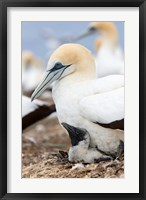 Framed Australasian Gannet chick and parent on nest, North Island, New Zealand