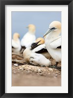 Framed Gannet tropical birds, Cape Kidnappers New Zealand