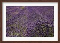 Framed Lavender Farm, near Cromwell, Central Otago, South Island, New Zealand (horizontal)