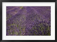 Framed Lavender Farm, near Cromwell, Central Otago, South Island, New Zealand (horizontal)