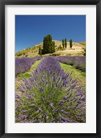 Framed Lavender Farm, near Cromwell, Central Otago, South Island, New Zealand (vertical)