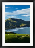 Framed Sheep grazing near Allans Beach, Dunedin, Otago, New Zealand
