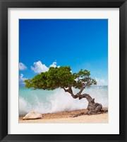 Framed Divi Divi Tree, Eagle Beach, Aruba, Caribbean