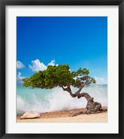 Framed Divi Divi Tree, Eagle Beach, Aruba, Caribbean