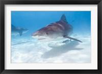 Framed Tiger Sharks, Northern Bahamas