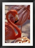Framed Pink Flamingo in Ardastra Gardens and Zoo, Bahamas, Caribbean