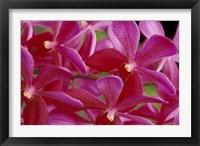 Framed Pink Orchids, Barbados, Caribbean