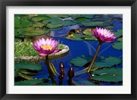 Framed Water Lillies in Reflecting Pool at Palm Grove Gardens, Barbados