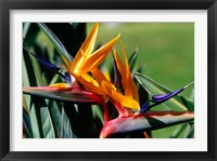 Framed Bird of Paradise in Bermuda Botanical Gardens, Caribbean