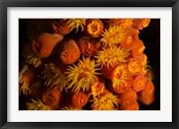 Framed Orange Cup Coral, Netherlands Antilles