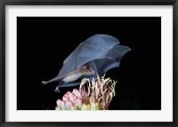 Framed Leafnosed Fruit Bat, Arizona, USA