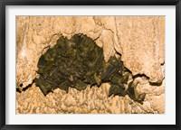 Framed Bat wildlife, Cave, Ankarana NP, Madagascar