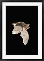Framed Evening Bat leaving Day roost in tree hole, Texas