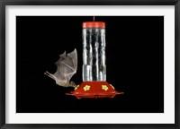 Framed Lesser Long-nosed Bat feeding, Tuscon, Arizona