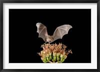 Framed Lesser Long-nosed Bat, Tuscon, Arizona