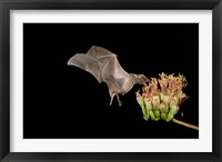 Framed Lesser Long-nosed Bat