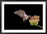 Framed Lesser Long-nosed Bat