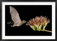 Framed Lesser Long-Nosed Bat in Flight Feeding on Agave Blossom, Tuscon, Arizona