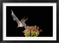 Framed Mexican Long-tongued Bat, Agave Blossom, Arizona
